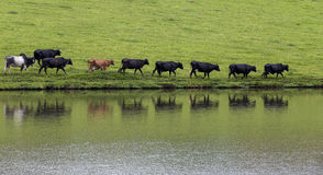 Cows in line Stock Images