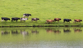 Cows in line Royalty Free Stock Images