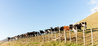 Cows lined along fence Royalty Free Stock Image