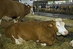 Cows at livestock exhibition Stock Image