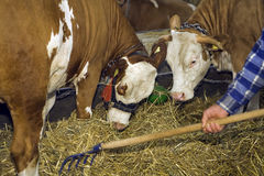 Cows at livestock exhibition Stock Images