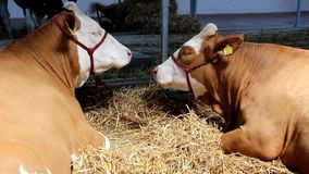 Cows on livestock exhibition stock video