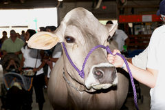 Cows at a Livestock Exhibition Royalty Free Stock Photo