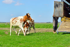 Cows on livestock transport. Cows getting out of livestock trailer Stock Photos