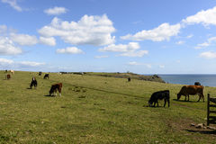 Cows  at Lizard point, Cornwall Stock Images