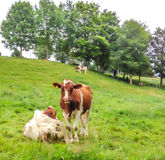Cows looking at camera with field meadow background stock image