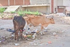 Cows looking for food on the streets of Jodhpur, India Royalty Free Stock Photos