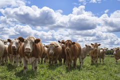 Cows Looking at You Royalty Free Stock Photography