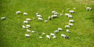 These cows are in love. A group of cows forming a white heart over the green grass background Stock Image