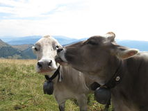 Cows in love Royalty Free Stock Photography