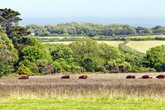 Cows in a lush meadow on a farm by hazy sea Royalty Free Stock Photos