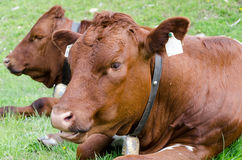Cows lying down in meadow Royalty Free Stock Photos