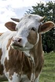 Cows Stock Images