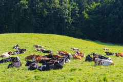 Cows Lying on Green Meadow Royalty Free Stock Photos