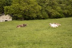 Cows lying on a meadow in the mountains royalty free stock photography