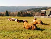 Cows lying in on a mountain meadow royalty free stock photo
