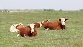 Cows lying on pasture Royalty Free Stock Photography