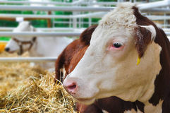 Cows lying. White and brown lying on straw Stock Images