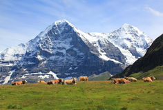 Cows at Maennlichen with the Eiger at the background in Switzerland. At Männlichen, Swiss cows with the famous Eiger north face and the Moench at the background Stock Photos