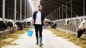 Cows and man with bucket of hay walking at farm. Agriculture industry, farming, people and animal husbandry concept - happy young man or farmer with bucket of stock video footage