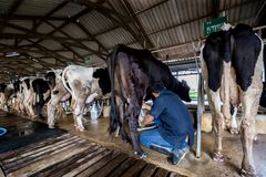 Cows with a man is milking in a dairy farm. An Thailand Stock Photos
