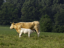 Cows. Many cows in the german baumberge Stock Photo