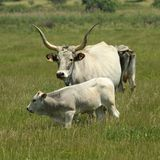 Cows in Maremma region Stock Images