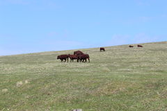 Cows mating Stock Photo