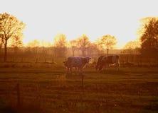 cows meaddow Стоковая Фотография