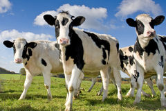 Cows on a meadow. Cows standing on a meadow, sunny day Stock Photo