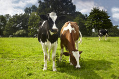 Cows on a meadow. Cows standing on a meadow, sunny day stock photos