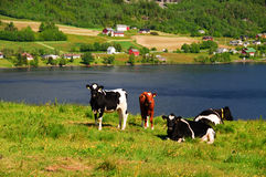 Cows in meadow. Cows in a meadow, resting on a hill with a great view over a lake Royalty Free Stock Photos