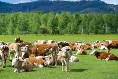 Cows at meadow Royalty Free Stock Photos