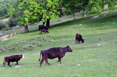 Cows in meadow. Black cows ambling in field of green grass stock photos