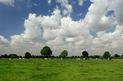 Cows on meadow Stock Image