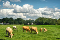 Cows in a meadow. Cows on a farm in a meadow under a heavy clouded sky Stock Images