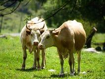 Cows in a meadow Stock Photos