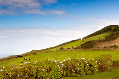 Cows on meadow. At Sete Cidades caldera, Azores, Portugal Royalty Free Stock Image
