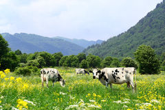Cows and Meadow Stock Images