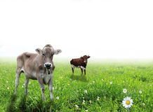 Cows on meadow Royalty Free Stock Photo
