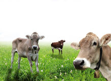 Cows on a meadow Stock Image