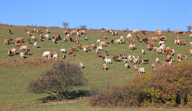 Cows on meadow Stock Photography