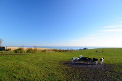 Cows are on the meadow. Cows are standing to graze on a green meadow as ocean and  blue sky background Stock Photography