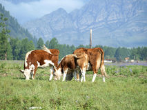 Cows on the meadow Royalty Free Stock Photo
