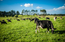 Cows in the meadow Royalty Free Stock Photo