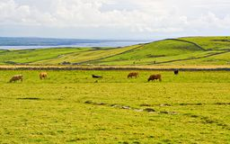 Cows in Meadow. Cows grazing in a meadow in County Clare, Ireland Royalty Free Stock Photography