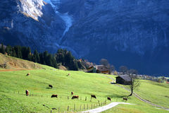 COWS AND MEADOW. Cows on the alpen meadow Stock Photo