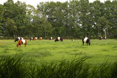 Cows on the meadow Stock Images
