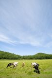 Cows.meadow. Cows are grazed on a meadow Stock Photography