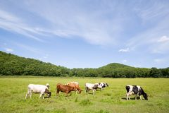 Cows.meadow. Cows are grazed on a meadow Royalty Free Stock Photos